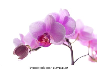 Pink phalaenopsis orchid on white background