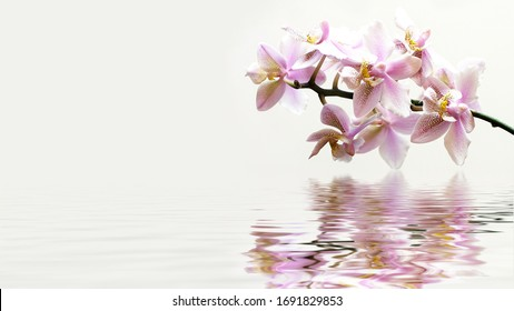 Pink Phalaenopsis Philadelphia orchid reflection in water