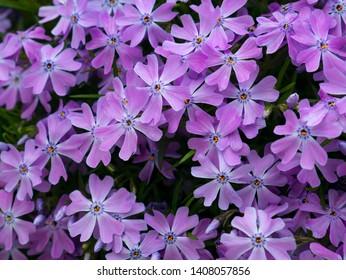Pink Phlox, blossoming spring flowers. Creeping Phlox, Moss Phlox