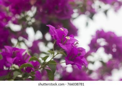 Pink Phra Phong Blooming, Pink Bougainvillea Blooming