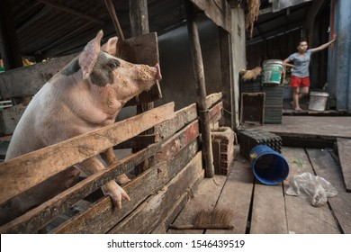 Pink pig in a wooden pigsty at the butcher's house in Prek Svay village, Koh Rong island, Cambodia