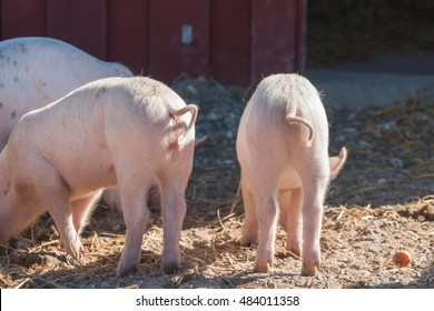 Pink piglets with curly tails in a rural barnyard