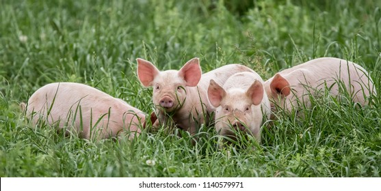 pink piglets in the grass