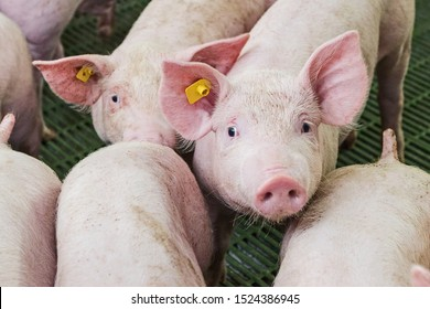 Pink pigs on the farm. Swine at the farm. Meat industry. Pig farming to meet the growing demand for meat.