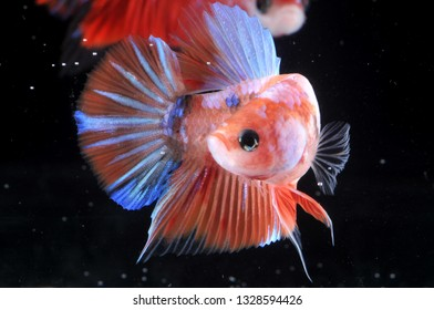 pink plakat betta fish