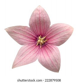 Star shaped flowers images stock photos vectors shutterstock pink platycodon grandiflorus flower isolated on white background mightylinksfo