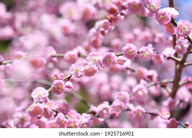 Pink Plum blossom blooming at Jyounangu, a Shrine in Kyoto taken on February 2021.