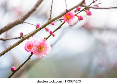 Pink Plum blossom, known as Mume flower in Chinese