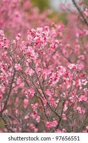 pink plum blossoms - Shutterstock ID 97656551