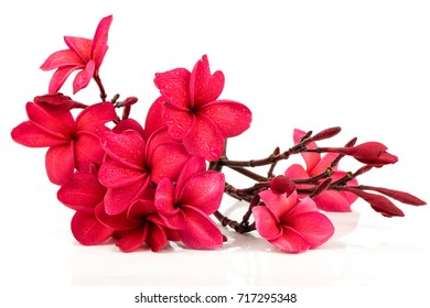 Pink Plumeria bouquet on white background