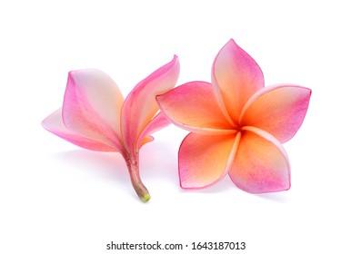 Pink plumeria flower, frangipani or plumeria , tropical flowers isolated on white background
