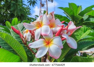 Pink plumeria flowers on plumplaints.