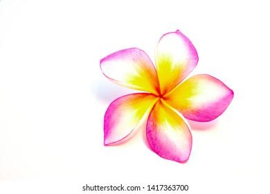 Pink plumeria flowers on the White Blackground