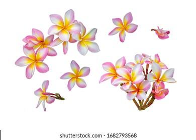 pink plumeria or frangipani flowers isolated on white background
