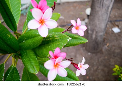 "Pink plumeria rubra. ""Flor de nicaragua"". Soft unfocused background."