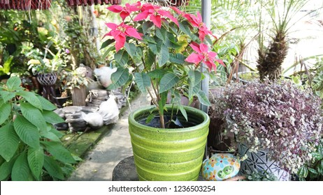 Pink Poinsettia or Pink Christmas Plant