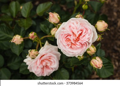 pink polyantha rose in bloom