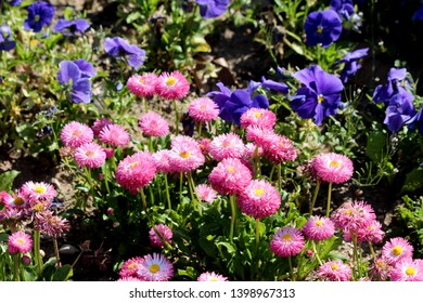 Pink pompon like Common daisy or Bellis perennis or English daisy or Meadow daisy or Lawn daisy herbaceous perennial plants planted with dark blue Wild pansy or Viola tricolor flowers in local garden