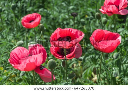 Pink Poppies Flowers Beautiful Big Poppies Stock Photo Edit Now