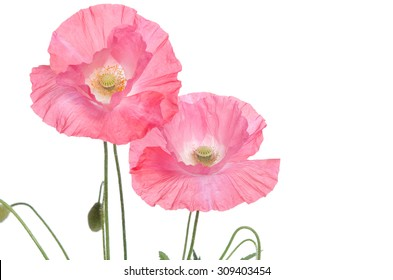 Pink poppy images stock photos vectors shutterstock pink poppies isolated on white background mightylinksfo