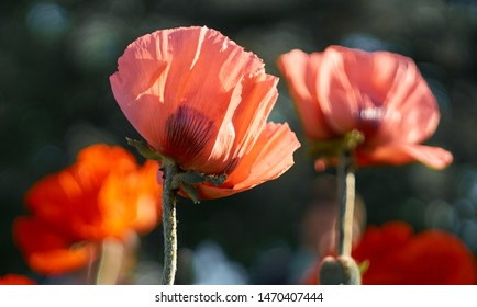 Pink poppy flower blooming on background  blurry poppies flowers. Nature.