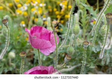 pink poppy garden