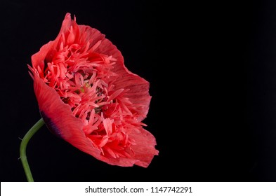 Pink Poppy on a black background with copy space.