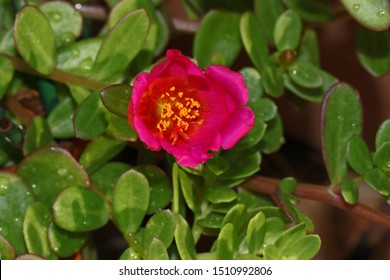 pink portulaca flower a close relative of common purslane also called pursley, verdolaga, red root or pigweed Latin portulaca oleracea flowering in summer in Italy