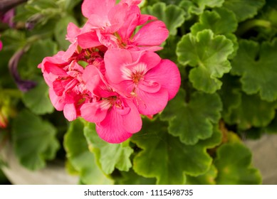 Pink potted garden plants