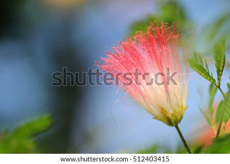 Pink Powder Puff Blooming Like Dream Stock Photo (Edit Now