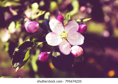 Pink Pretty Apple Blossom Branch in Spring Orchard
