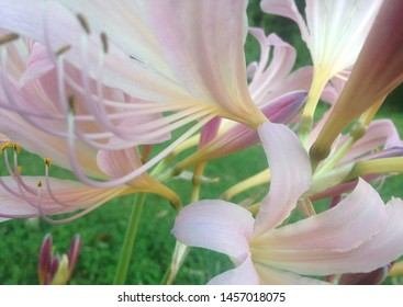 Pink and pretty resurrection lilies