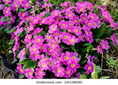 Pink primula flowers in the garden.