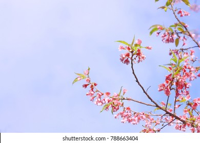 Pink Prunus cerasoides flower on blue sky background at Khun Sathan National Park, Nan, Thailand
