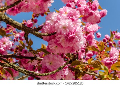 Pink Prunus serrulate blossoming on blue sky background