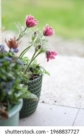 Pink pulsatilla vulgaris (Pasque flower) in the pot