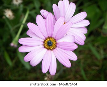 Pink purple african daises on a green leafy background. A close up of of two beautiful flowers. Osteospermum daisies. - Shutterstock ID 1466871464