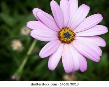 Pink purple african daisy on a green leafy background. A close up of of a single beautiful flower. Osteospermum daisies. - Shutterstock ID 1466870918