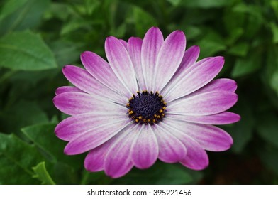 Pink and purple African daisy osteospermum flower in bloom