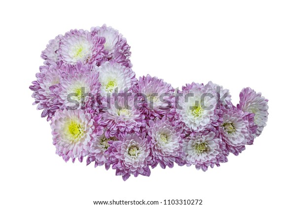 Pink purple Aster Chrysanthemum flower heads isolated on white background