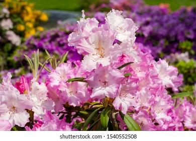Pink and purple azalea flowers bloom outdoor