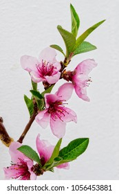 Pink and purple blossom of the nectarine 'Madame Blanchette' set against a white wall.