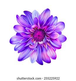 Pink Purple chrysanthemum flower, Yellow flower, Spring flower.Isolated on white background. Vector golden-daisy