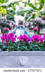 Pink purple cyclamen flowers with fountain in center