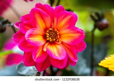 Pink Purple Dalia Flower