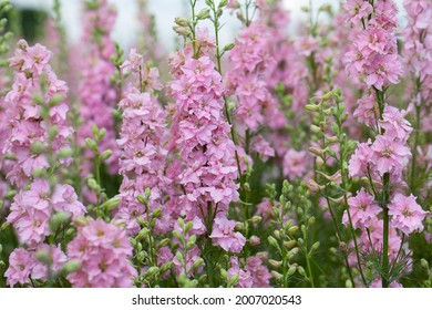 Pink and purple Delphinium Larkspur flowering plant in flower field in Britian UK of the Ranunculaceae family