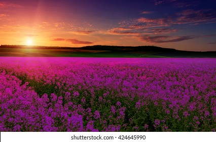 pink purple field, imagination, fantastic landscape, multicolor sky over the meadow with pink flowers. majestic sunrise. use as background. series creative images. color in nature.