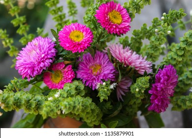 Pink and purple flowers of Aster. Bouquet of flowers. Green basil.