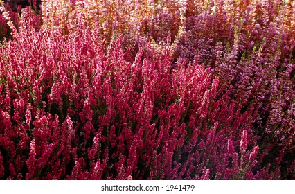 Pink & purple heather, or Calluna vulgaris