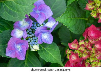 Pink and purple hydrangea with green leaves